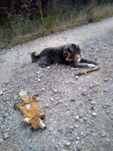 Wolf toy road kill, Buddy & stick